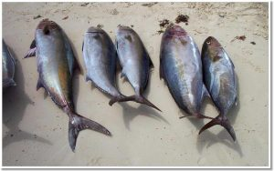Tuna from Caye Caulker Island in Belize